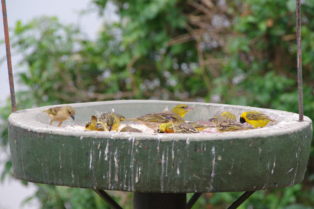 mangeoires avec des oiseaux tisserands