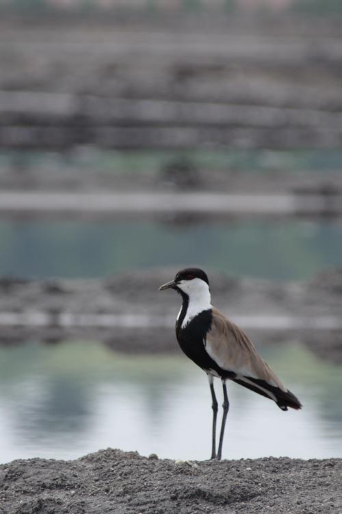 Observation des oiseaux au Lac Katwe