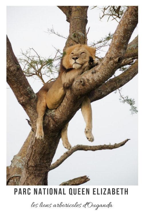Faire un safari au Parc National de Queen Elizabeth en Ouganda et observer les lions dans les arbres