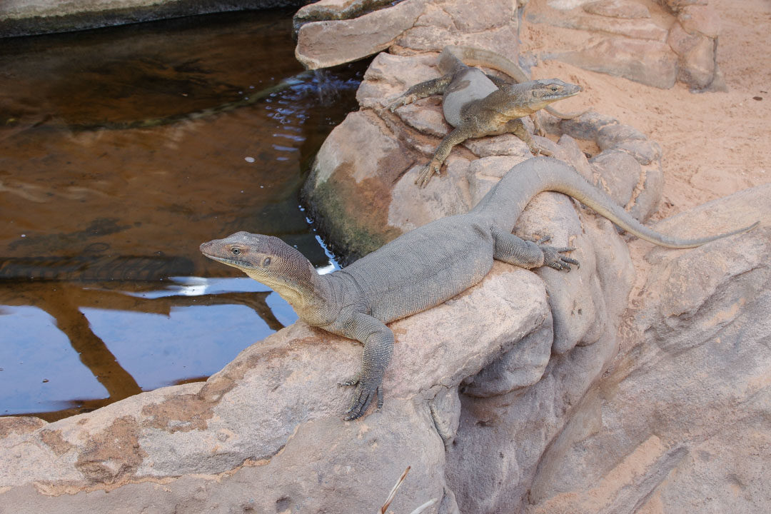 Visite du Reptile Center à Alice Springs