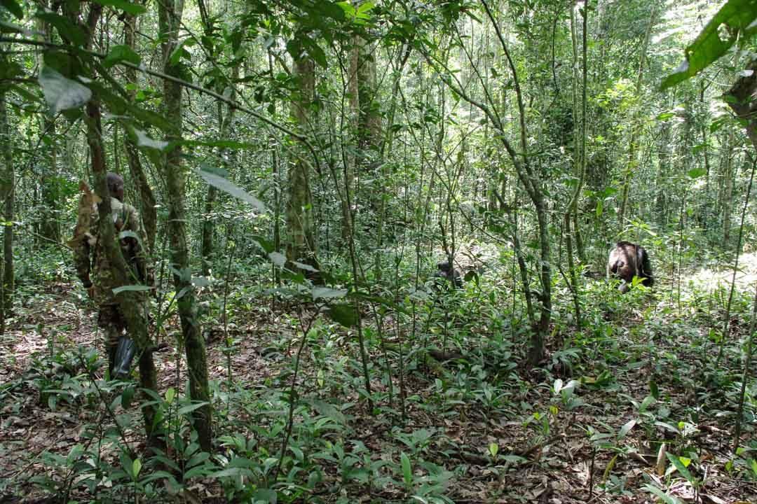 Suivre la trace des chimpanzés dans la foret de Kibale