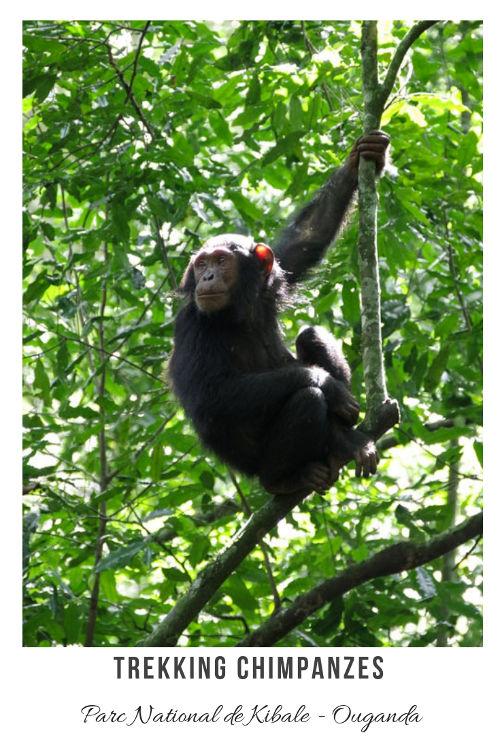 Recit de mon Trekking Chimpanzé dans la forêt de Kibale en Ouganda