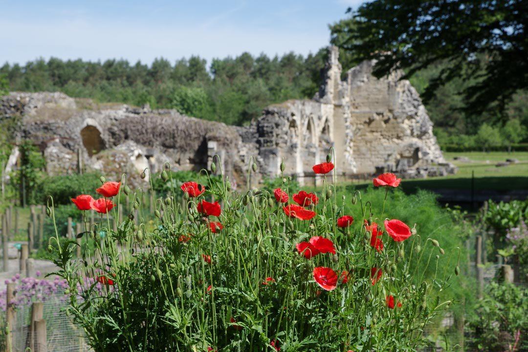 coquelicot en fleurs devant l'abbaye de Vauclair