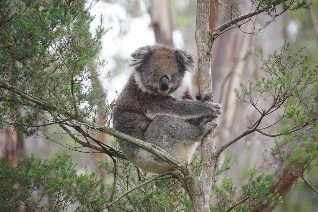 Visite du Koala Conservation Center à Phillip Island