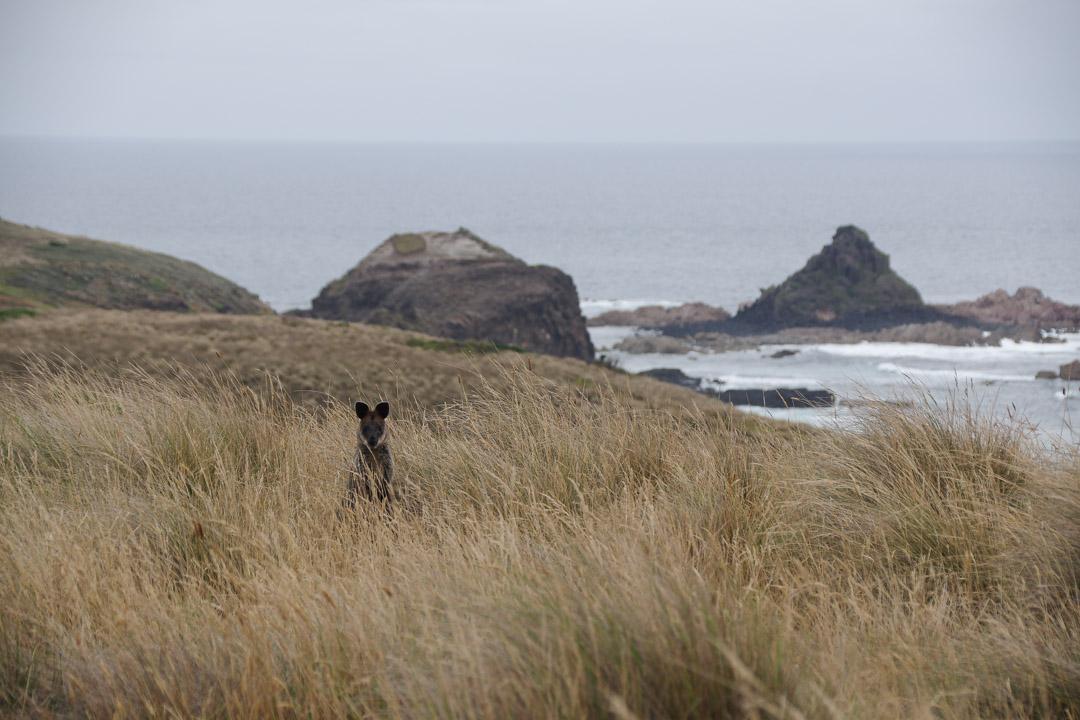 Wallaby près de Pyramid Rock