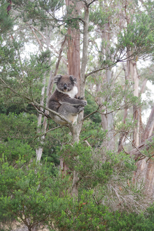 Koala Conservation Center - Phillip Island