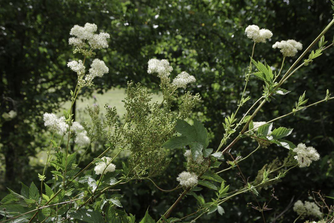 plante reine des prés