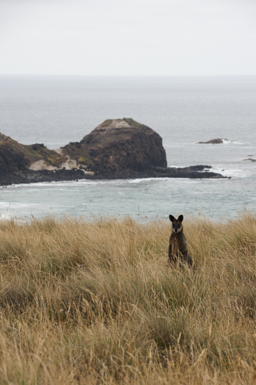 wallabi - Phillip Island