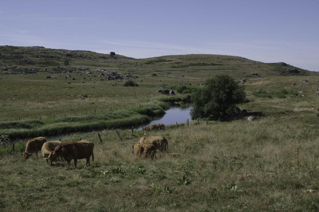 Vache Aubrac au bord d'un ruisseau
