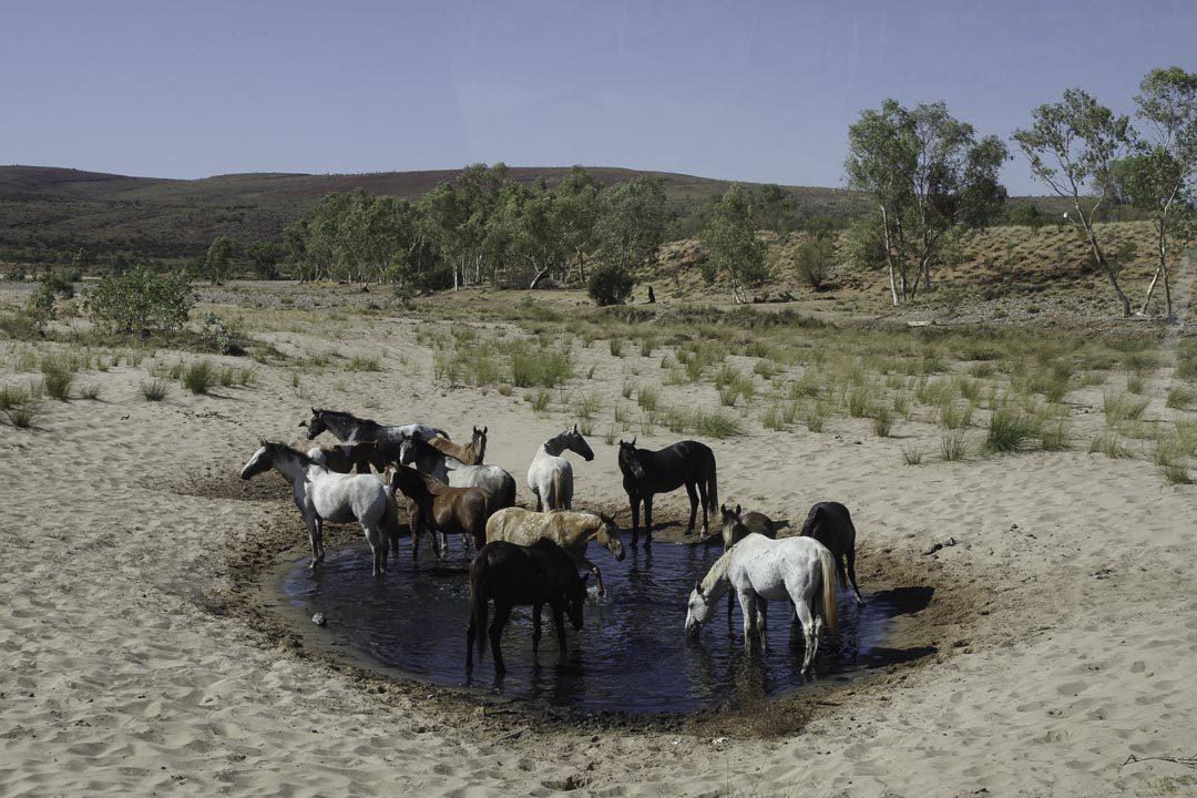 Chevaux sauvages de l'outback australien