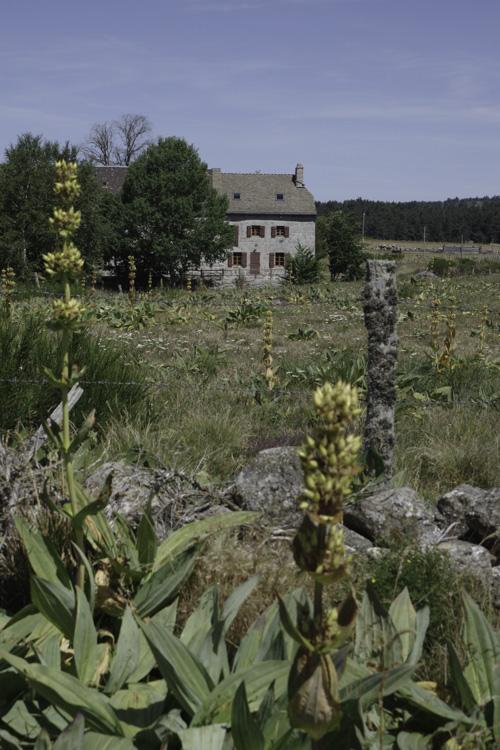fleurs de gentiane - Aubrac