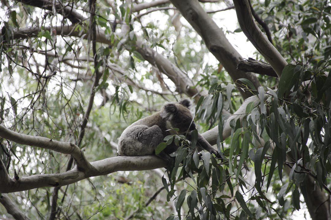 Koala sur la route vers Cap Otway