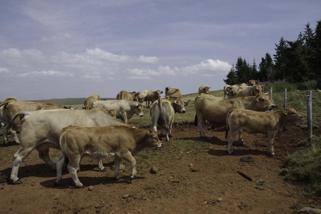 troupeau de vaches de l'Aubrac