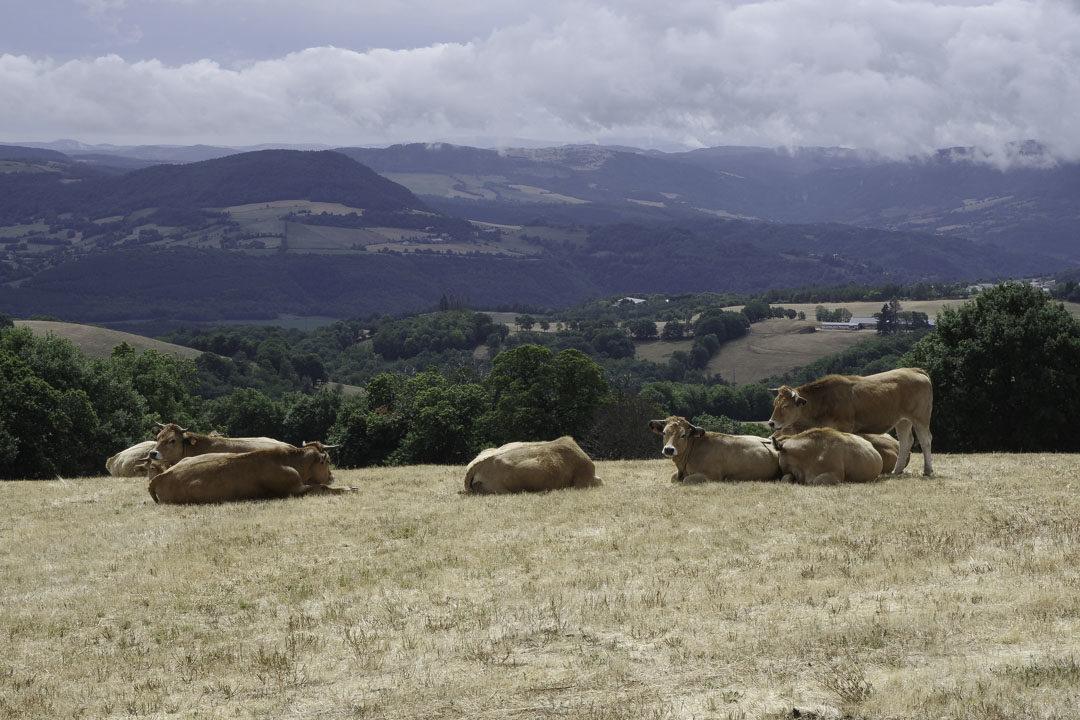 troupeaux de vaches en Lozère