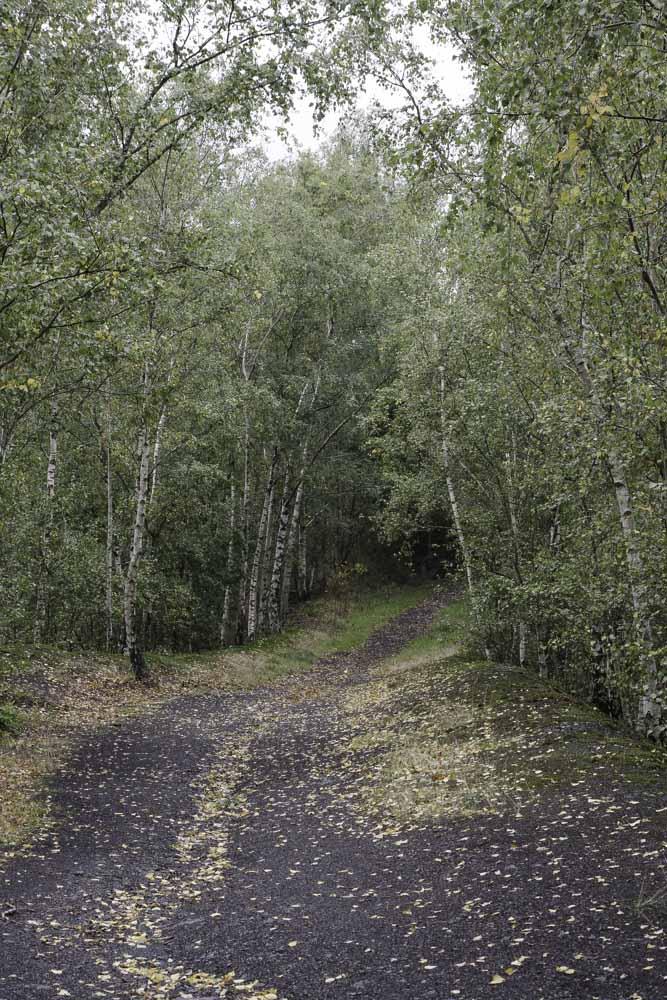 une forêt de bouleau pousse sur le terril