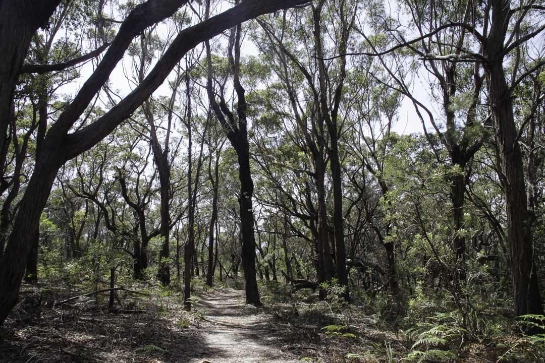 Foret d'Eucalyptus - Australie