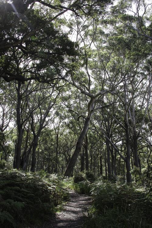 foret d'Eucalyptus -Booderee National Park