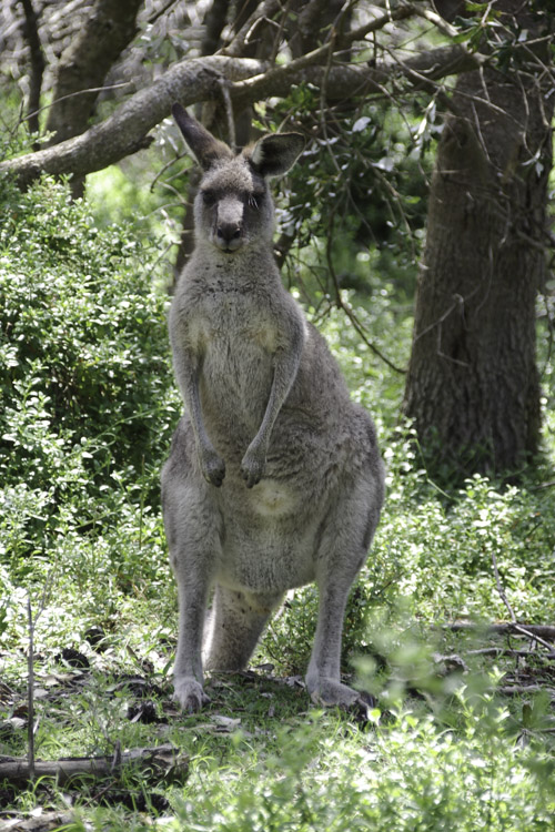 Kangourou - Ben Boyd National Park