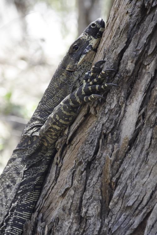 un varan sur un arbre à Ben Boyd National Park