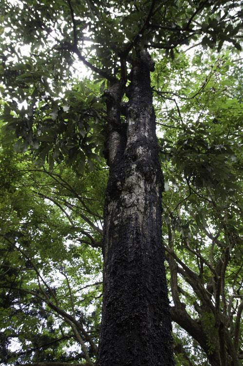 arbre noir - jardin botanique de Pamplemousses