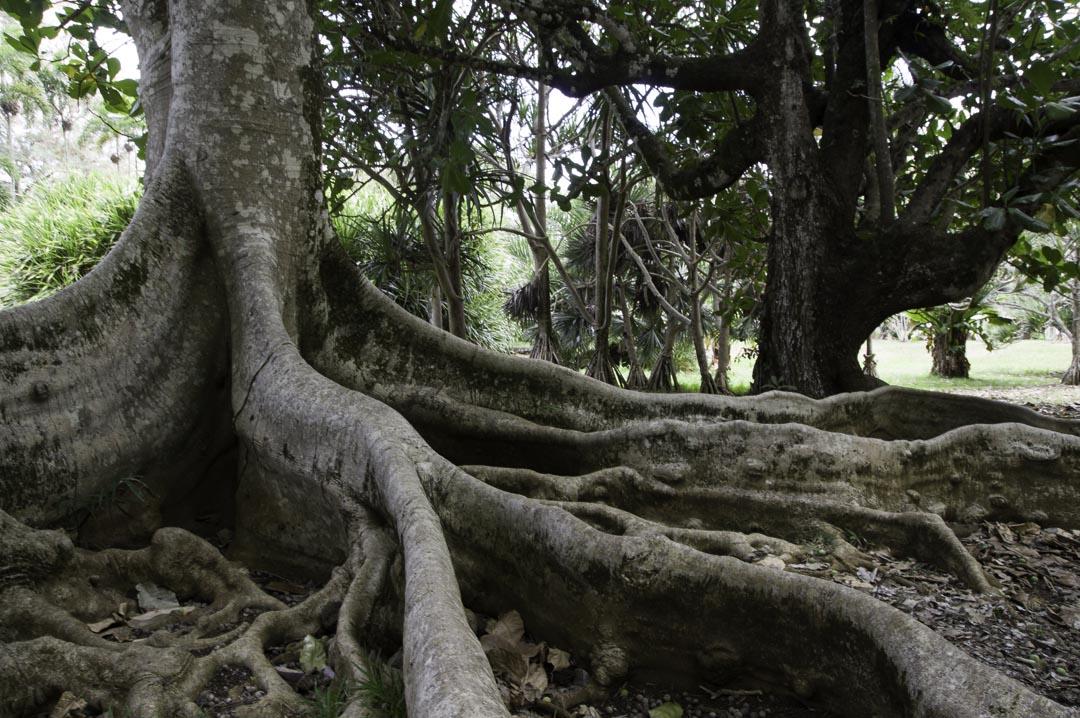 arbre à grosses racines - Jardin de Pamplemousses