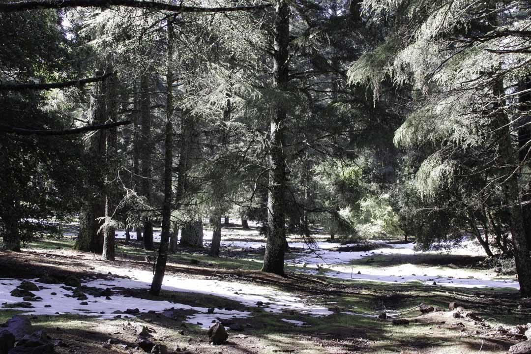 neige dans la foret de cedres