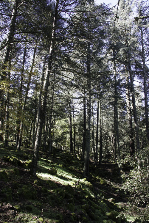 foret du parc national d'Ifrane