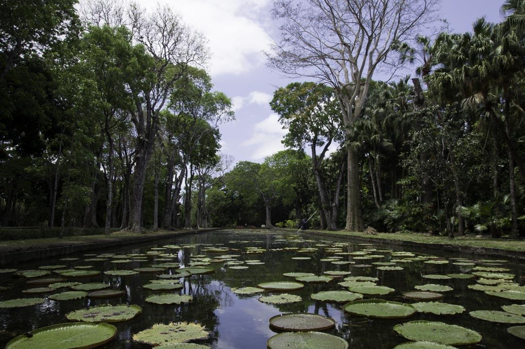 Bassin de nénuphar - jardin de Pamplemousses