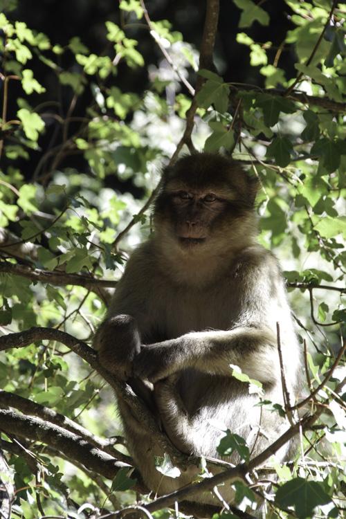 Macaque de Barbarie dans le Moyen-Atlas