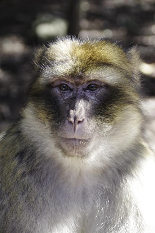 Zoom sur le visage d'un macaque de Barbarie