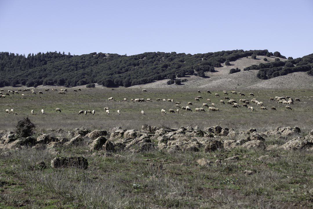 moutons dans les steppes du Moyen-Atlas