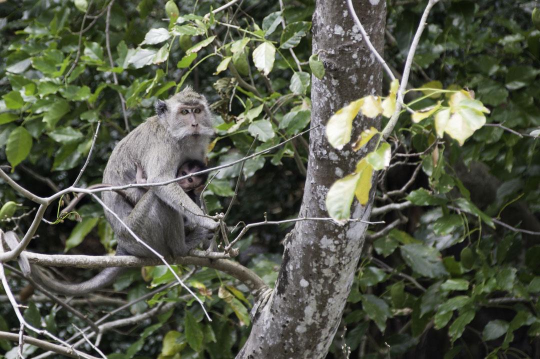 singe et son petit - Ile aux cerfs