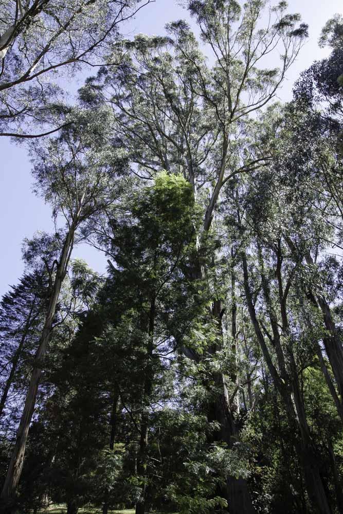 Eucalyptus - Alfred Nicholas Mermorial Garden