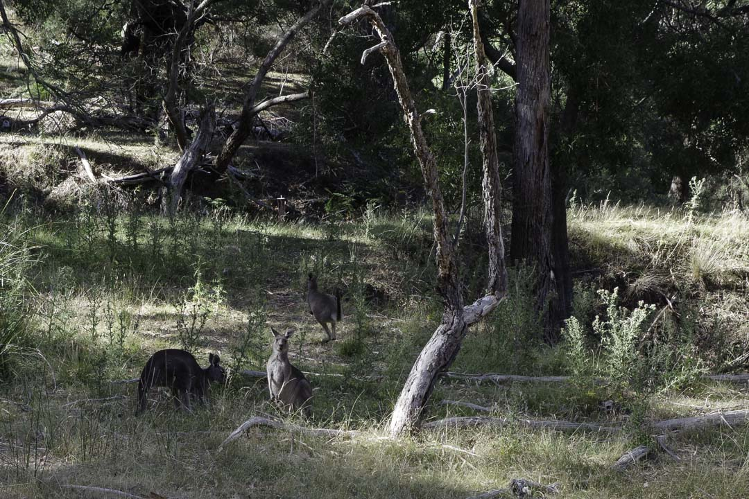 Kangourous dans les Grampians