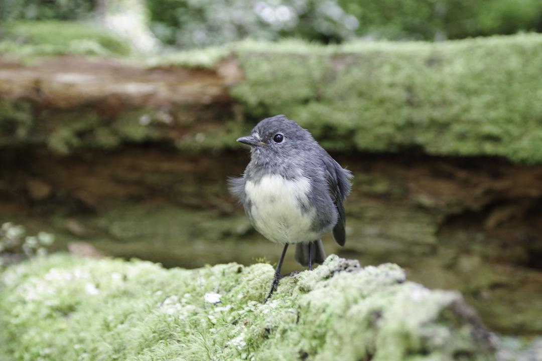 petit oiseau dans la forêt en Nouvelle-Zélande