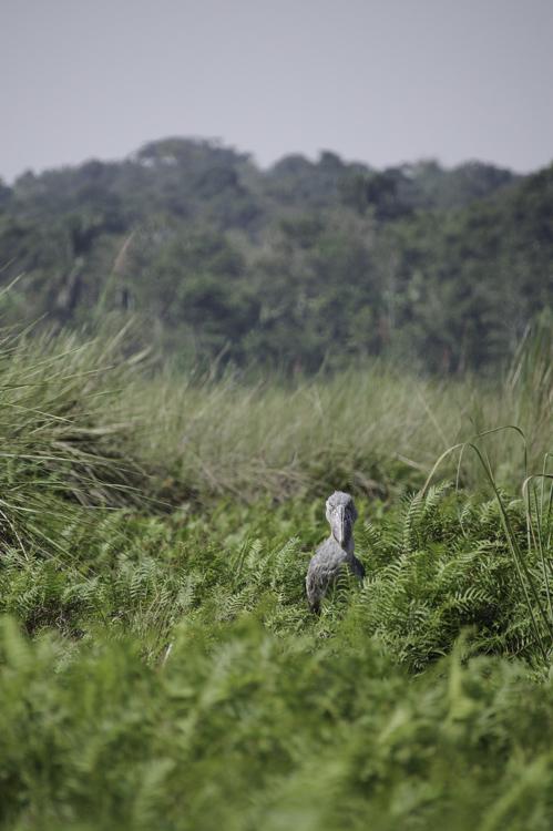 Bec en Sabot du Nil - Ouganda