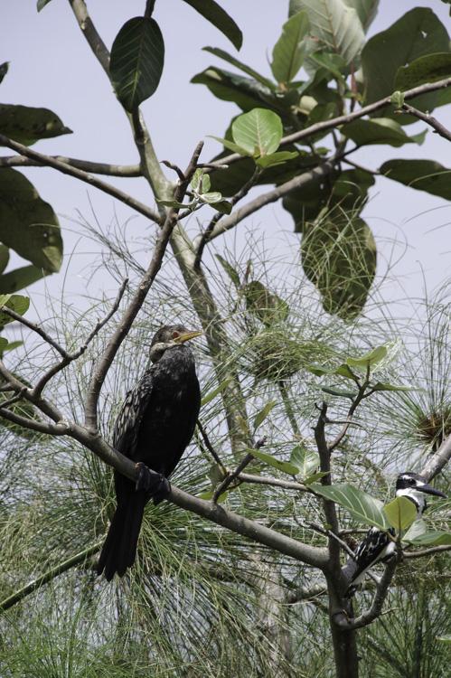 Cormoran Africain dans le Marais de Mabamba - Ouganda