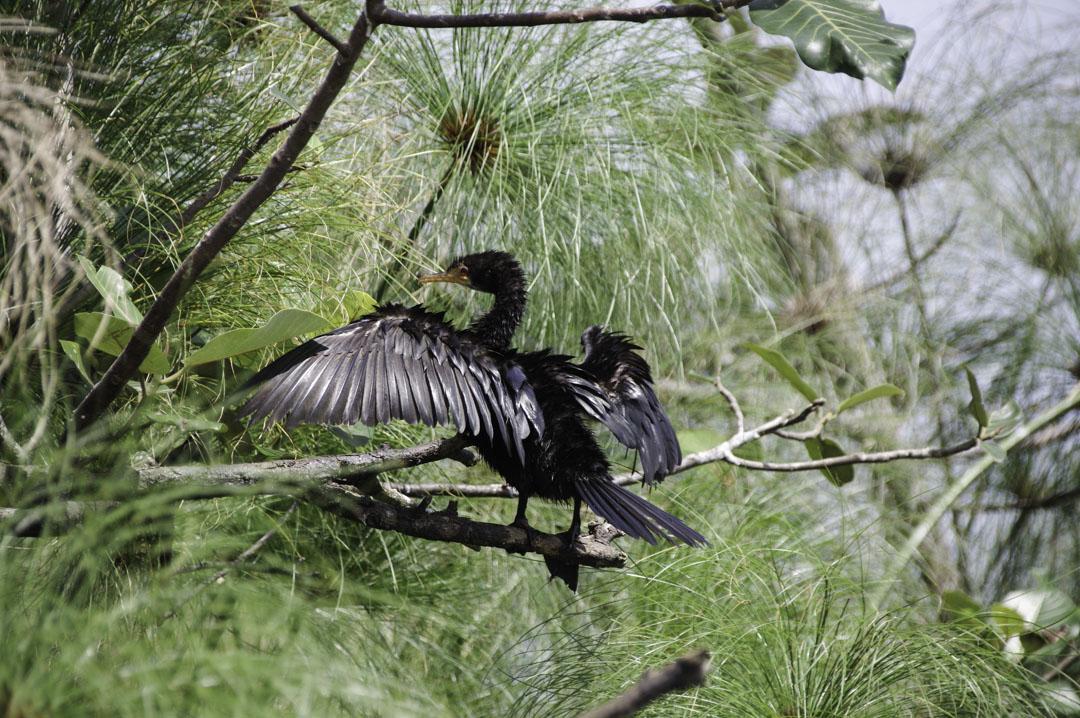 Cormoran qui fait sécher ses ailes