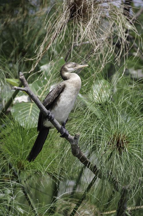Cormoran - Marais de Mabamba