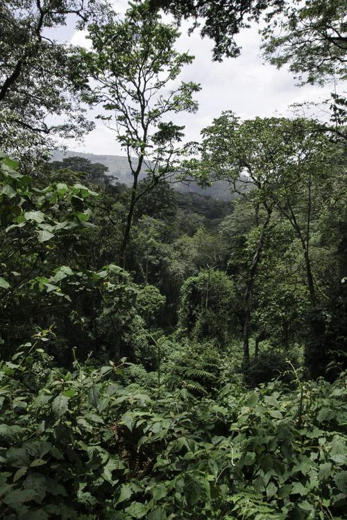 Foret Equatoriale en Ouganda