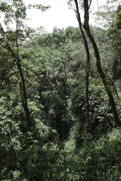 LA Forêt impénétrable de Bwindi en Ouganda