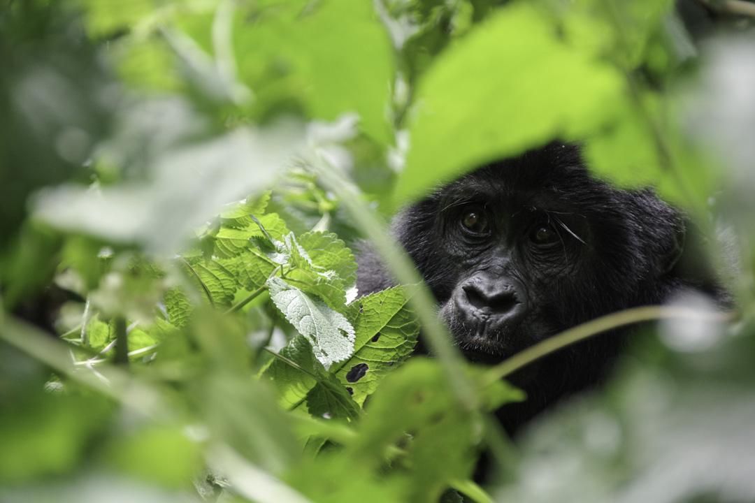 Visage de gorille dans la végétation