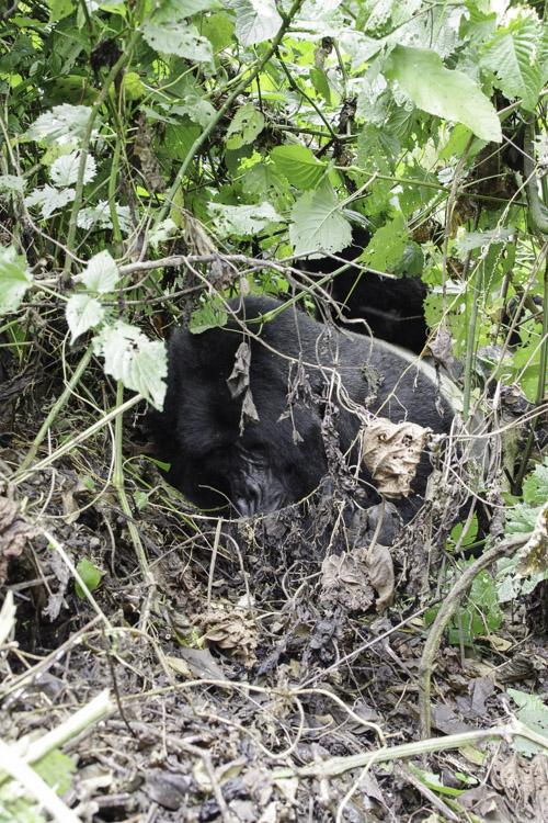 Gorille endormi