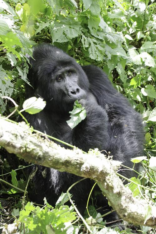 gorille au dos argenté