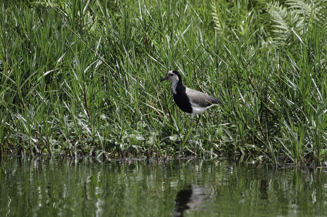 Sortie Ornithologique dans le Marais de Mabamba
