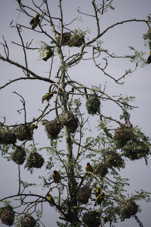 Oiseau tisserins et leurs nids