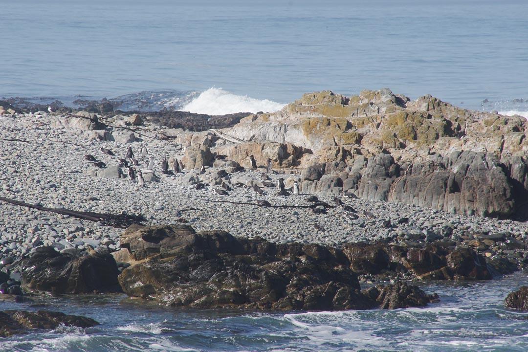 colonie de manchots - Robben Island