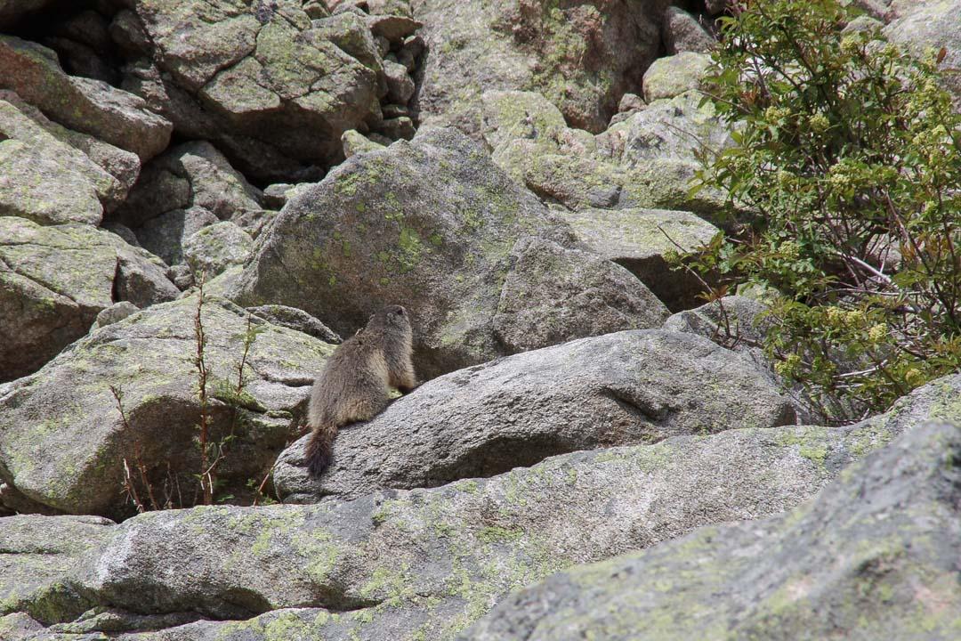 Marmotte dans les Pyrénées