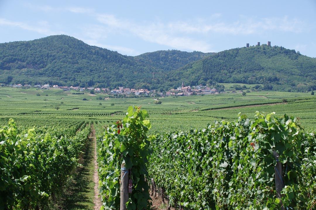 vignoble autour de Pfaffenheim