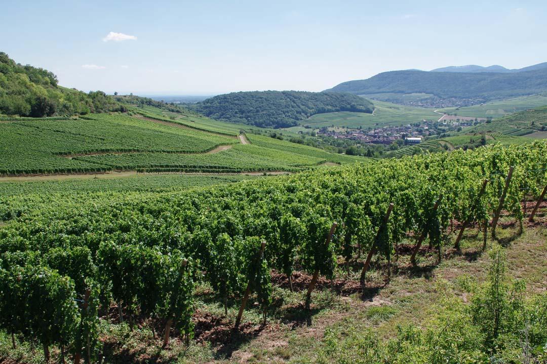 vignobles autour de Pfaffenheim